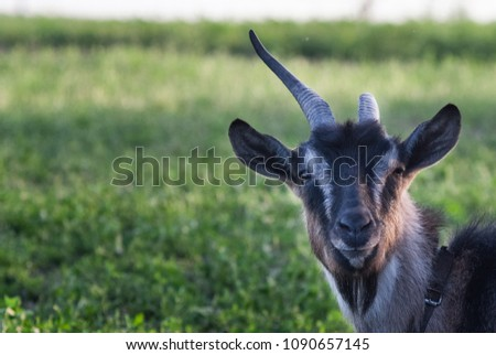 funny face small goat, Brown goat, Domestic goat, Brown goat portrait #1090657145