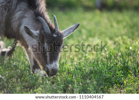 funny face small goat, Brown goat, Domestic goat, Brown goat portrait #1110404567