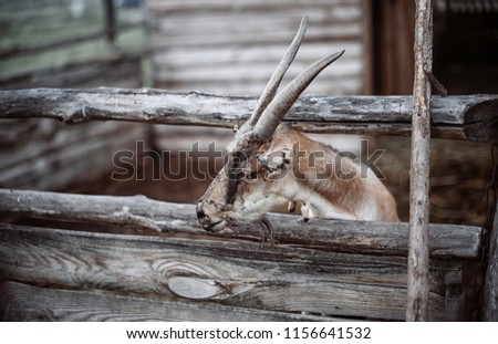 funny face small goat, Brown goat, Domestic goat, Brown goat portrait #1156641532