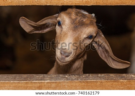 funny face small goat, Brown goat, Domestic goat, Brown goat portrait