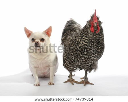 funny fat chihuahua and rooster standing together on white background