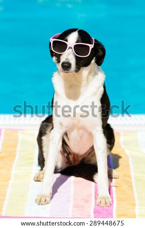 Funny female dog wearing sunglasses and sunbathing at poolside on summer.