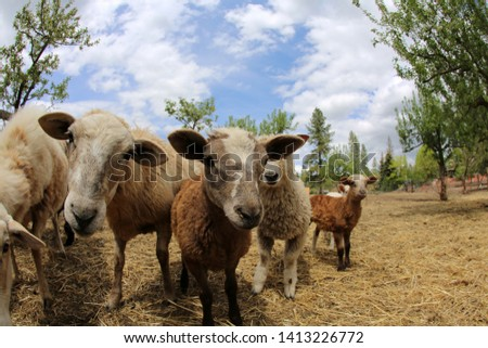 Funny Fish Eye lens photos of Sheep. Sheep and Lambs look into a Fish Eye camera lens for a funny distorted photo. Funny animal pictures. #1413226772