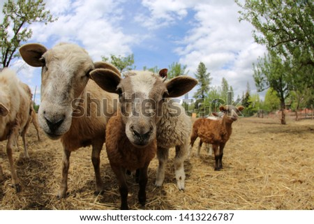 Funny Fish Eye lens photos of Sheep. Sheep and Lambs look into a Fish Eye camera lens for a funny distorted photo. Funny animal pictures. #1413226787