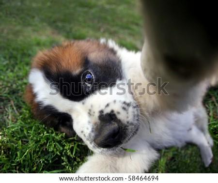 Funny Fisheye Perspective of a Saint Bernard Puppy Outdoors