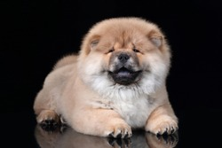 Funny fluffy chow chow puppy lying on a black background