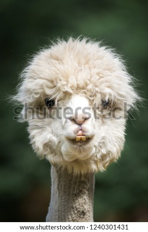 Funny fluffy white alpaca looking to camera in headshot. Portrait of a white funny looking alpaca. green blurry background.