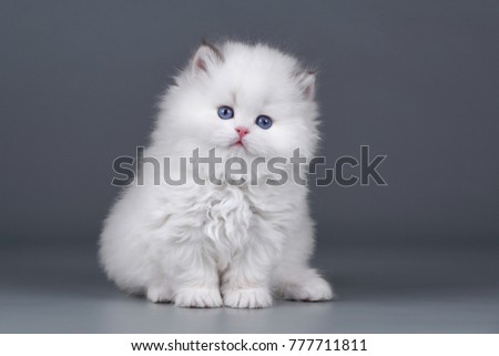 Stock Photo Funny fluffy white kitten on a gray background