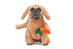 Funny French Bulldog dog dressed up as Easter bunny wearing a full body rabbit costume with fake arms holding a plush carrot, studio shot isolated on white background