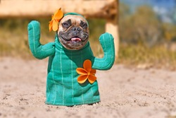Funny French Bulldog dog dressed up with cactus costume with fake arms and orange flowers standing on sandy ground