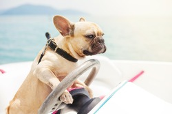 Funny French Bulldog dog is sitting behind the wheel of a speedboat, making a serious look at the background of the sea, sunny summer day. lighting effects
