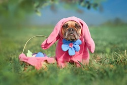 Funny French Bulldog dog wearing pink Easter bunny costumes with arms and big flower next to Easter basket on meadow