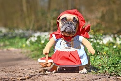 Funny French Bulldog dos dressed up as fairytale character Little Red Riding Hood with full body costumes with fake arms wearing basket in forest