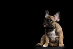 Funny French Bulldog Puppy Cute Sitting and Pity Looking up , Front view,  Isolated on black background