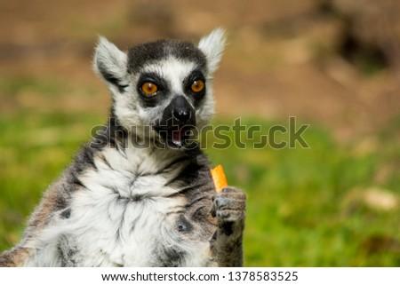 Funny furry Lemur look ahead and eats a vegetable #1378583525