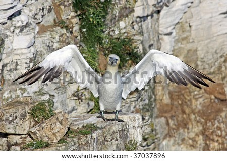Funny gannet sea bird with outstretched wings perched on cliffs.