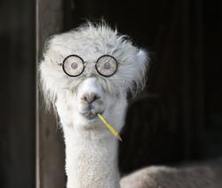 Funny, genius alpaca with glasses
