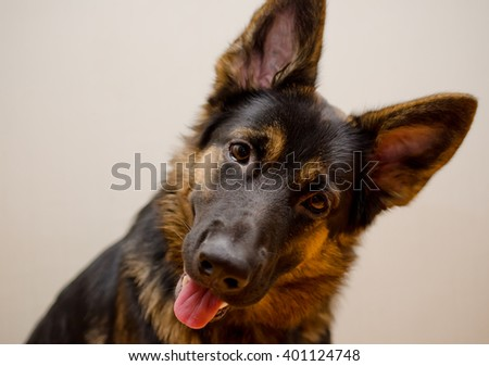 Funny German Shepherd With Its Head Tilted Shallow Dof Selective