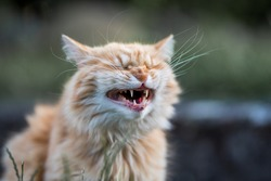 Funny ginger cat laughs in the garden.