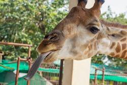 Funny giraffe head with long tongue. Funny photo of giraffe stick out long tongue.