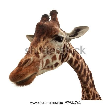 Funny giraffe isolated on white background - stock photo