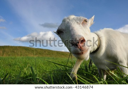 Funny goat on the green meadow