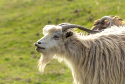 Funny goat portrait with long lips. Open mouth. White long haired goat with horns and beard.