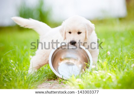 funny golden retriever puppy carrying a bowl