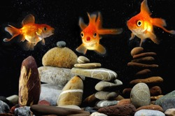 funny  goldfish in aquarium over well-arranged zen stone and nice bubbles