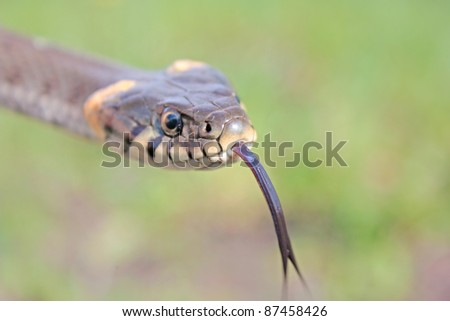 Funny grass snake - stock photo