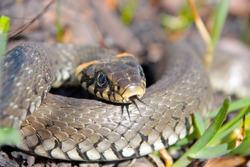 Funny grass snake  taken in early spring