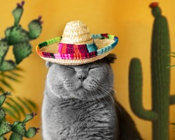 Funny gray cat in a Mexican sambrerro hat on his head. The cat's muzzle is sweet. In the background yellow background green cacti. Funny pets. Scottish Fold cat. Traveling with a pet. Clothes for cats