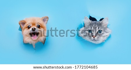 Funny gray kitten and smiling dog with beautiful big eyes on trendy blue background. Lovely fluffy cat and puppy of pomeranian spitz climbs out of hole in colored background. Free space for text.