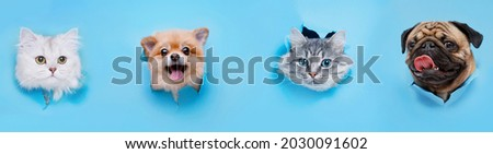 Funny gray kitten and smiling dogs with beautiful big eyes on trendy blue background. Lovely fluffy cats, puppy of pomeranian spitz and pug climbs out of hole in colored background.