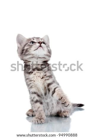 Funny gray kitten isolated on white