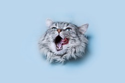 Funny gray tabby cute kitten with beautiful big eyes on bright trendy blue background. Lovely fluffy cat climbs out of hole in colored background. Free space for text.