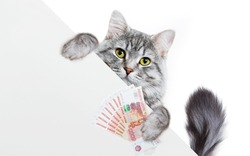 Funny gray tabby kitten showing placard with space for text. Lovely fluffy cat holding signboard on isolated background. Top of head of cat with money in paws, peeking over a blank white banner.