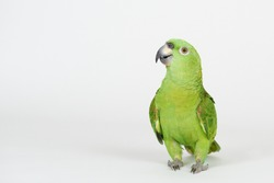 Funny green parrot stand on white studio background