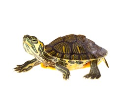 Funny green turtle on parade or walking around