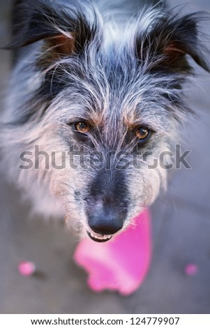 Funny grey dog looking up - broken pink paper heart below.