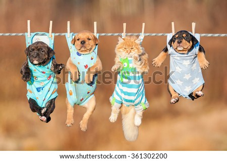 Funny group of american staffordshire terrier puppies with little red cat hanging on a clothesline