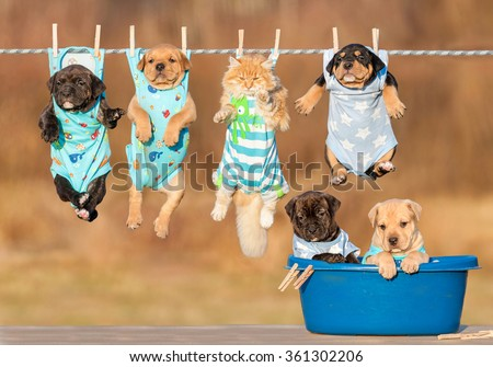 Funny group of american staffordshire terrier puppies with little red cat hanging on a clothesline and two puppies sitting in a washing bawl