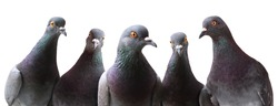 Funny group of curious Pigeons isolated on white