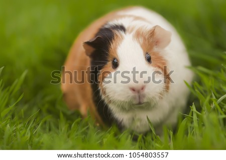 Funny guinea pig eating grass in the garden outdoors #1054803557