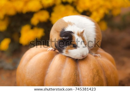 Funny guinea pig sitting on pumpkin with background of yellow flowers outdoors