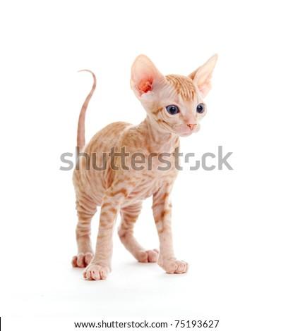 Funny hairless sphynx or sphinx tabby kitten isolated