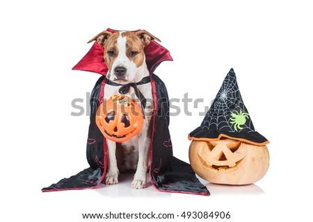 Funny halloween dog dressed like a dracula