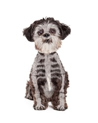 Funny Halloween Mixed Breed Small Poodle dog with skeleton bones painted over black fur