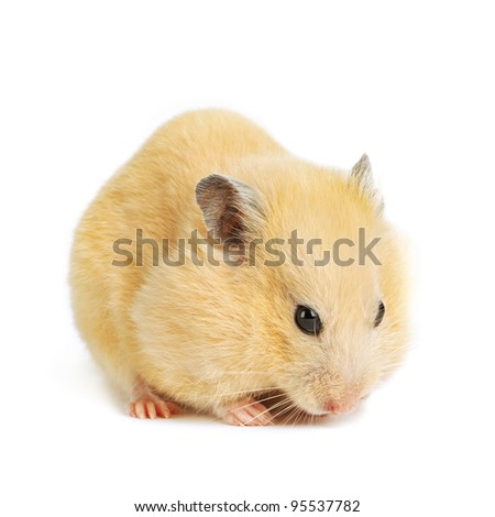 Funny hamster eats isolated