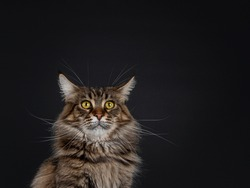 Funny head shot of impressive young adult black tabby Maine Coon cat. Looking straight to camera with mesmerising eyes and WTF look. Isolated on black background.